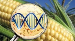 Arce anula decreto de Añez que autorizaba uso de semillas transgénicas en cinco cultivos