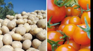 Productores piden autorizar la papa y tomate transgénicos